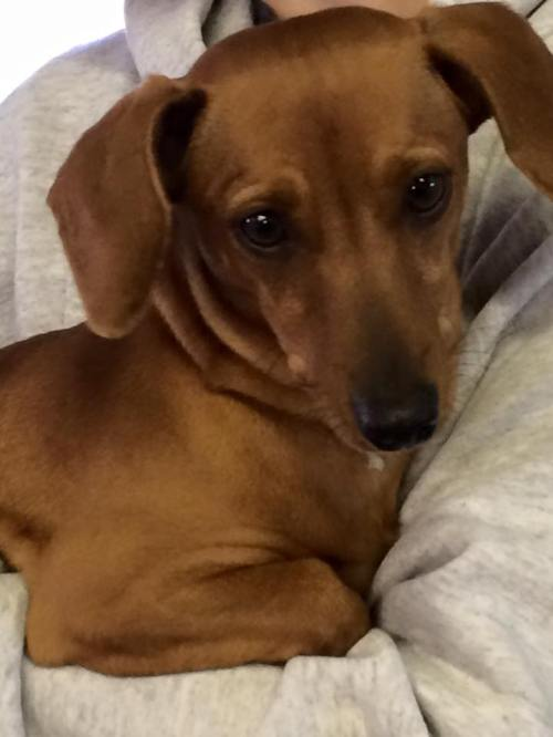 2-6 daschund found in DQ parking lot